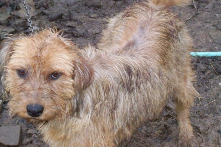 Border Terrier Mix Breed