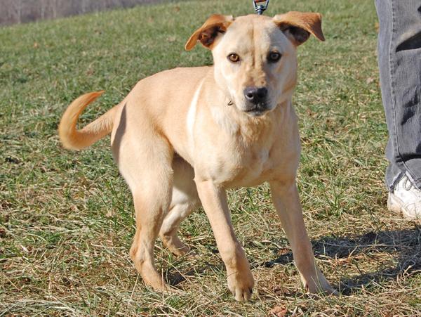 Australian Cattle Dogblue Heeler Yellow Labrador Retriever ...