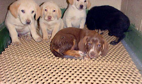 labrador puppies for sale labrador puppies for sale washington state