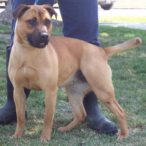 Rhodesian Ridgeback Pitbull Mix Puppies For Sale | Dog Breeds Picture