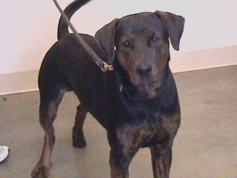 Doberman Pinscher Mix with Mastiff